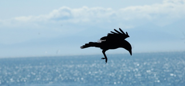 Crow and ocean