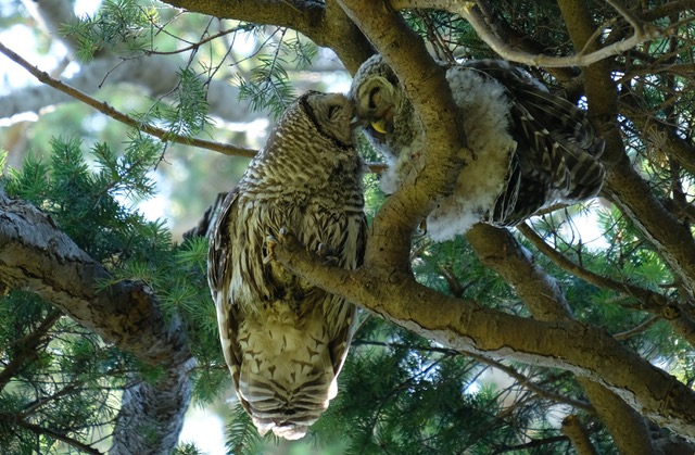 Owls bumping heads